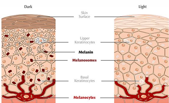 skin layers 3